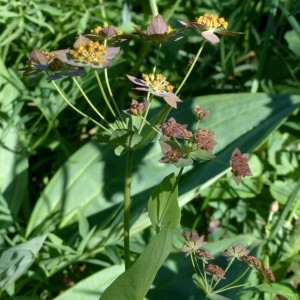 Photographie n°2283776 du taxon Bupleurum longifolium subsp. longifolium