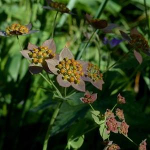Photographie n°2283777 du taxon Bupleurum longifolium subsp. longifolium