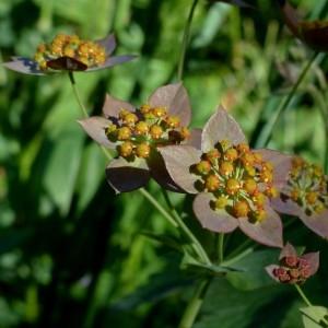 Photographie n°2283778 du taxon Bupleurum longifolium subsp. longifolium