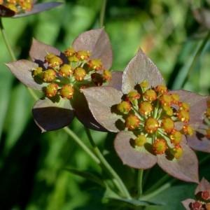 Photographie n°2283779 du taxon Bupleurum longifolium subsp. longifolium