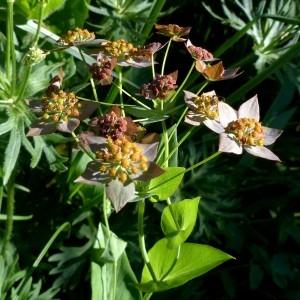 Photographie n°2283781 du taxon Bupleurum longifolium subsp. longifolium