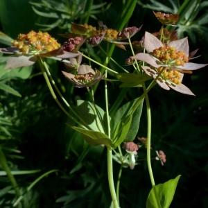 Photographie n°2283782 du taxon Bupleurum longifolium subsp. longifolium