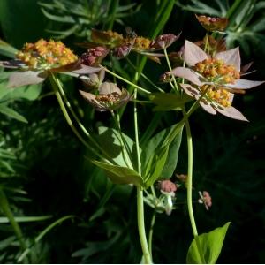Bupleurum longifolium L. subsp. longifolium (Buplèvre à feuilles allongées)