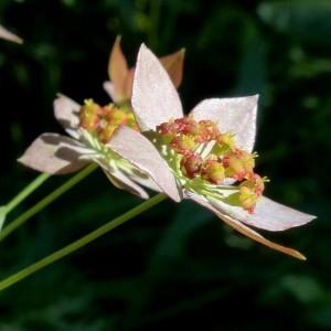 Photographie n°2283783 du taxon Bupleurum longifolium subsp. longifolium