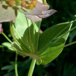 - Bupleurum longifolium subsp. longifolium