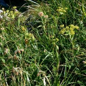 Photographie n°2283787 du taxon Bupleurum ranunculoides subsp. ranunculoides