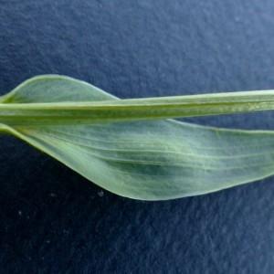 - Bupleurum ranunculoides subsp. ranunculoides
