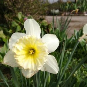 Photographie n°2283897 du taxon Narcissus pseudonarcissus L. [1753]