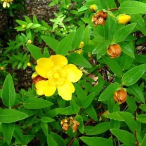 Photographie n°2284033 du taxon Hypericum x hidcoteense Hilling ex Geerinck