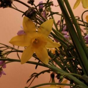Photographie n°2284145 du taxon Narcissus pseudonarcissus L. [1753]