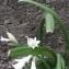 Allium triquetrum L. [nn14041] par Tarik Ahmed Hamadache le 18/03/2019 - Ben Aknoun