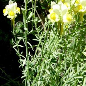 Photographie n°2284525 du taxon Linaria supina subsp. pyrenaica (DC.) Nyman [1881]