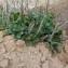 Plantago macrorhiza Poir. [nn150844] par kadda Chouhim le 18/03/2019