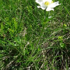 Photographie n°2284565 du taxon Anemone narcissiflora subsp. narcissiflora