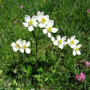 Photographie n°2284570 du taxon Anemone narcissiflora subsp. narcissiflora