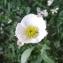 Alain Bigou - Ranunculus amplexicaulis L. [1753]