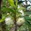 Aphloia theiformis (Vahl) Benn. [nn556] par Annick TÉlÉgone le 19/03/2019 - Réunion