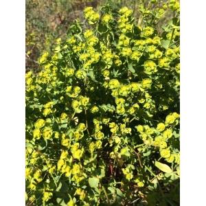 Euphorbia graminifolia Vill. (Euphorbe à feuilles de graminée)