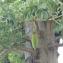 Adansonia digitata L. [nn143] par valerie Loumeau le 18/03/2019