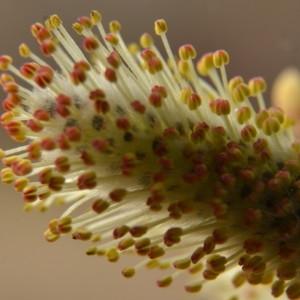 Salix caprea L. (Saule des chèvres)