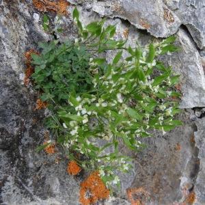 Photographie n°2284943 du taxon Draba dubia var. laevipes (DC.) B.Bock