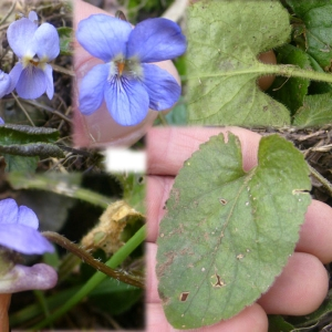 Photographie n°2285026 du taxon Viola hirta L. [1753]