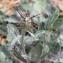 Centaurea melitensis L. [nn100867] par Karim BOUDANI le 20/03/2019