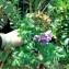 Polygala myrtifolia L. [nn151365] par Lhoussaine El Rhaffari le 20/03/2019