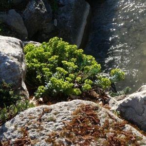Photographie n°2285347 du taxon Euphorbia myrsinites L. [1753]