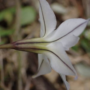 Photographie n°2285417 du taxon Tristagma uniflorum (Lindl.) Traub