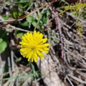 Photographie n°2285564 du taxon Crepis sancta (L.) Bornm. [1913]