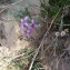 Matthiola fruticulosa (Loefl. ex L.) Maire [nn141978] par kadda Chouhim le 18/03/2019