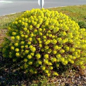 Photographie n°2285622 du taxon Euphorbia dendroides L. [1753]