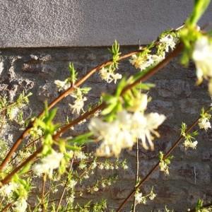 - Lonicera fragrantissima Lindl. & Paxton