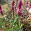 Celosia argentea L. [nn2032] par Dendrobium 16 le 21/03/2019 - La Houssaie