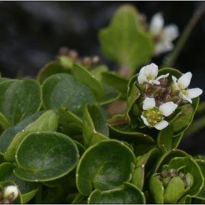 Photographie n°2286152 du taxon Cochlearia pyrenaica DC. [1821]