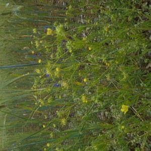 Photographie n°2286399 du taxon Ranunculus arvensis L. [1753]