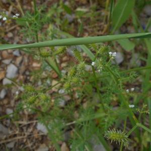 Photographie n°2286405 du taxon Caucalis platycarpos L.