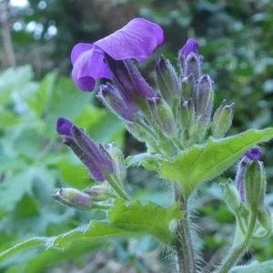 Photographie n°2286516 du taxon Lunaria annua L.