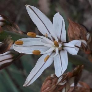 Photographie n°2286684 du taxon Asphodelus ramosus L. [1753]