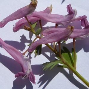 Photographie n°2286994 du taxon Corydalis solida (L.) Clairv. [1811]