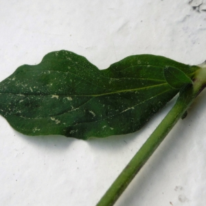 Photographie n°2287043 du taxon Silene latifolia subsp. alba (Mill.) Greuter & Burdet [1982]