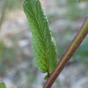 Photographie n°2287072 du taxon Sinapis arvensis L. [1753]