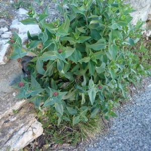 Photographie n°2287253 du taxon Centranthe lilas-d'Espagne