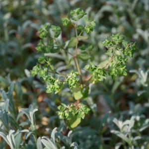Photographie n°2287372 du taxon Euphorbia peplus L. [1753]