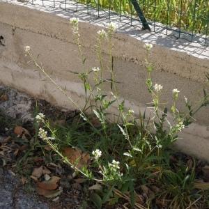 Photographie n°2287391 du taxon Brassicaceae