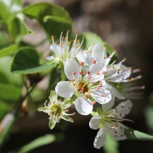 Photographie n°2287425 du taxon Prunus mahaleb L.