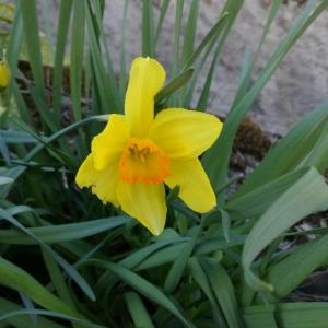 Photographie n°2287449 du taxon Narcissus pseudonarcissus L. [1753]