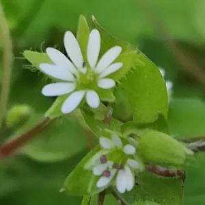 Photographie n°2287490 du taxon Stellaria media (L.) Vill. [1789]