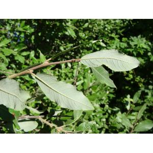 Salix phylicifolia L. [1753] (Tea-leaved Willow)